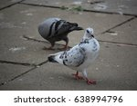 speckled pigeon strutting on... | Shutterstock . vector #638994796