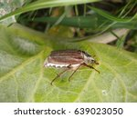 melolontha on the green leaf | Shutterstock . vector #639023050