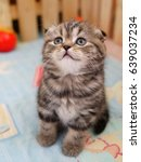 Stock photo scottish fold kitten in a wooden cage 639037234
