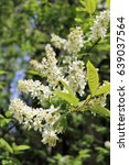Small photo of Common bird cherry (Prunus padus), wild Cherry or wrist, or Cherry bird— a species of small trees or shrubs of the genus Plum Pink family