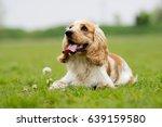 spaniel dog on a green grass | Shutterstock . vector #639159580