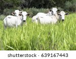 Herd Of Nelore Cattle Grazing...