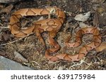 Small photo of Two Osage Copperhead (Agkistrodon contortrix phaeogaster) together in Southwestern Missouri