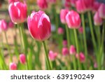 tulip of pink color | Shutterstock . vector #639190249