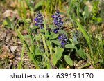 Small photo of Blue bugleweed flowers (Ajuga) on the meadow