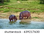 Adult And Young Hippos On The...
