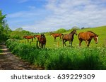 A Group Of Chestnut Horses...