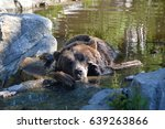 Bear cooling off in water, Grouse Mountain, Vancouver