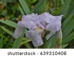 Close Up Of Wet Pale Purple  ...