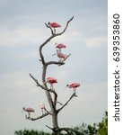 Seven Roseate Spoonbill Share ...