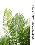 Small photo of green Albizzia falcata tree leaf isolated on white background