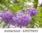 A Cluster Of Purple Jacaranda...