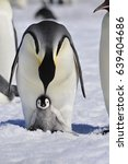 Stock photo emperor penguins with chick 639404686