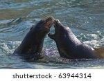 California Sea Lion  Zalophus...
