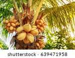 coconut tree with bunch of... | Shutterstock . vector #639471958