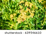 Small photo of Macro closeup of orange honey bees on yellow wingstem flowers with bokeh focus