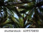 palm oil tree | Shutterstock . vector #639570850