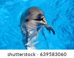 dolphin playin in the water... | Shutterstock . vector #639583060