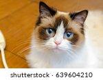 Ragdoll Cat   With Big Blue Eyes
