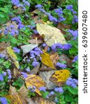 Small photo of Violet ageratum flowers in fallen autumn leaves
