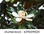 Flower Of White Magnolia Up...
