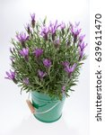 lavandula stoechas  spanish... | Shutterstock . vector #639611470