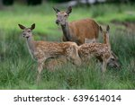 Red Deer With More Calf  Summe...