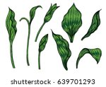 cypripedium orchids leaves by... | Shutterstock .eps vector #639701293