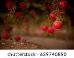 pomegranate tree | Shutterstock . vector #639740890