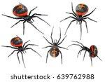 Spider Latrodectus...