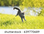 Stock photo sweet tabby cat fun running on green meadow in sunny summer day 639770689