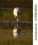 Small photo of African spoonbill feeding in a wetland
