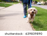 Stock photo adorable little dog excited to be on a walk with her owner an older woman wearing blue slippers 639839890