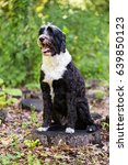 portuguese water dog sitting in ... | Shutterstock . vector #639850123