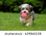 playful havanese puppy dog... | Shutterstock . vector #639860158