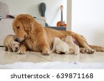 Stock photo golden retriever puppies 639871168