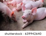 Small piglet sleep in the farm. ...