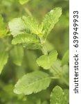 hot basil leaves main... | Shutterstock . vector #639949933