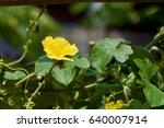 Sponge Gourd Flower With Leaf...