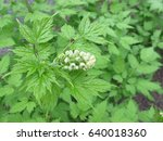 Small photo of Eurasian baneberry with flower, Actaea spicata