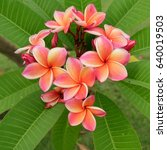 plumeria flower on the plumeria ... | Shutterstock . vector #640019503
