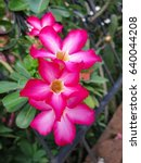 Small photo of Red Adenium in the garden.