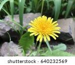dandelion in nature   Shutterstock . vector #640232569