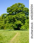 Small photo of Acer pseudoplatanus , sycamore maple, foliage on sunny day, Castletown, Ireland