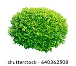 Small photo of Green laurel decorative globe form shrub isolated on white