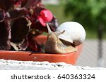 Small photo of The snail Stylommatophora with a white shell closeup against a flowering begonia.