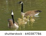 Canadian Geese Family Swimming...