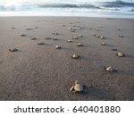 Baby Turtles Walking Towards...