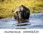 Small photo of Buffalo in Chone National Park