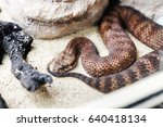 Small photo of Danger Australian common death adder or acanthophis antarcticus